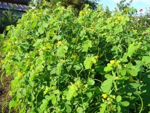 9月、黄色い花が満開