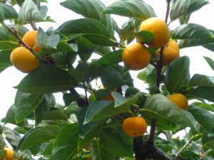 ミニ柿の枝