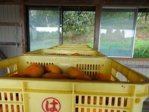 早生の柿 出荷所