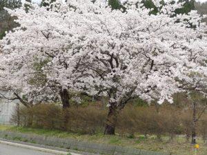 白っぽい桜