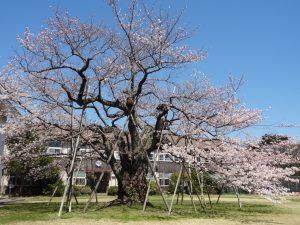 さっちゃん桜