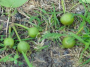摘果された 洋梨の実