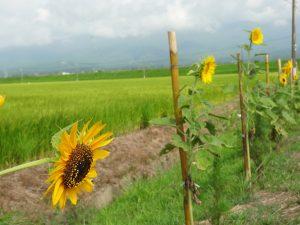 田んぼ 向日葵