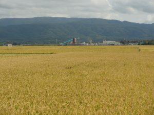 黄金の稲田