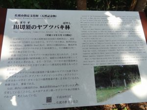 田切須 ヤブツバキ林