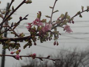 早咲き 桜