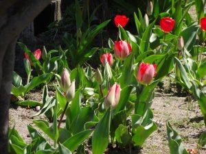 並んだ 並んだ チュウリップの花が