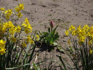 咲いた 咲いた チューリップの花が