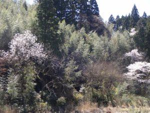コブシ と 竹 と 桜