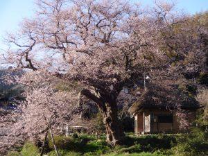 法乗坊の種蒔き桜