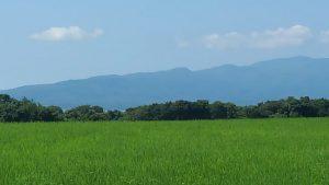 田んぼの緑