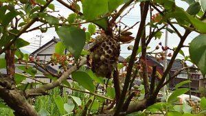ブルーベリー の 巣