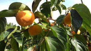 西日を受けて 柿の色