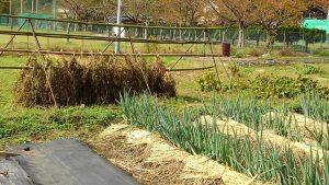 ネギの土寄せと藁のお布団  小豆の乾燥
