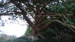 榧の木 古木