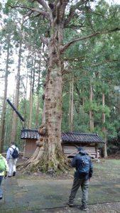榧(かや)の木