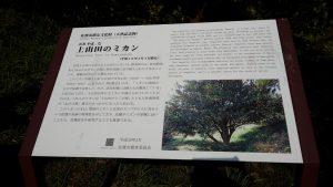 上山田のミカン 古木