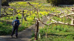 菜の花畑の中にミカンの古木