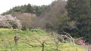 柿 畑  桜