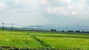 稲が風になびいて
