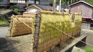 ハザ掛けの稲