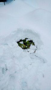 雪の下から キャベツ