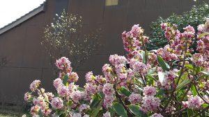 沈丁花と辛夷