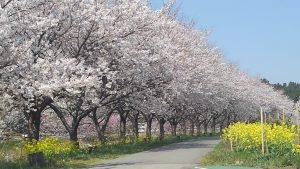 羽茂川沿い 桜の道