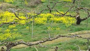 柿畑の中の 菜の花