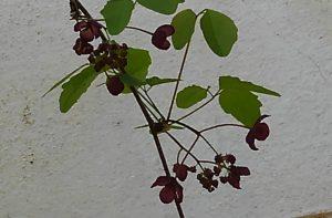 あけび の 花