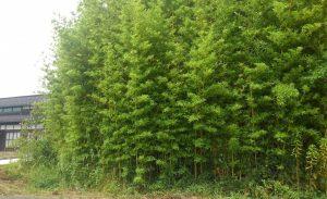 竹の若みどり