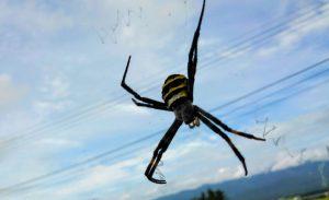 しましま模様の蜘蛛