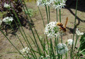 あしなが蜂 ニラの花