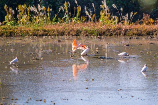 佐渡の自然放鳥朱鷺