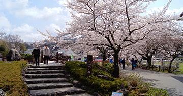 真野公園桜まつり