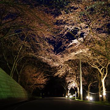 佐渡金山 桜並木ライトアップ