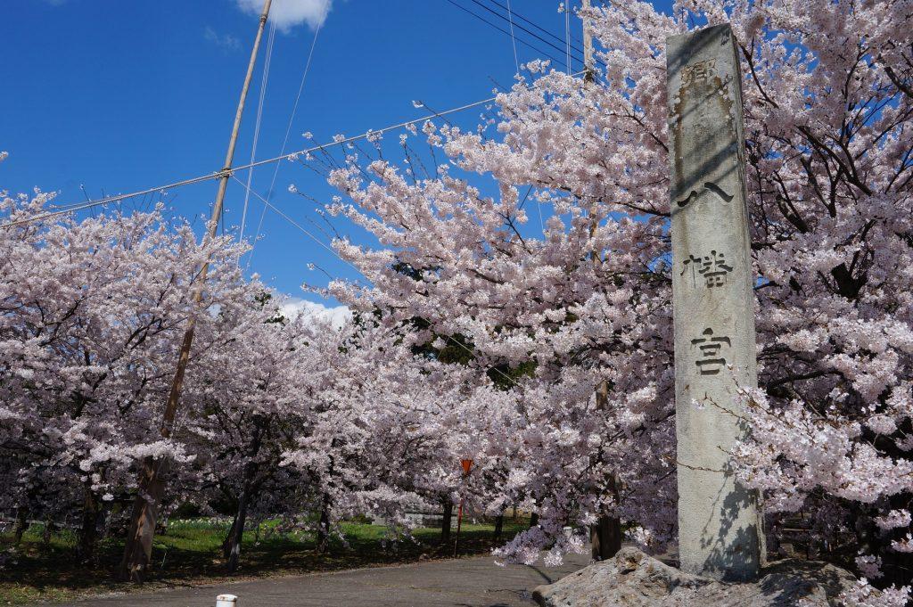 桜の名所でもある金井新保の八幡宮
