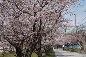 羽茂小学校の桜並木